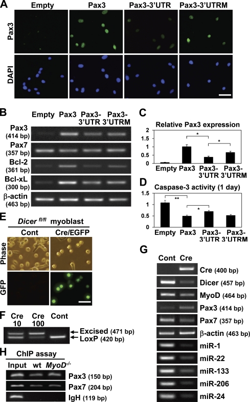 Pax3 expression is regulated by dicer and Pax3-3′UTR. (A) Pax3 expression was compared between wild-type myoblasts infected with a retrovirus vector expressing Pax3, Pax3-3′UTR, Pax3-3′UTR with mutations at miR-1/miR-206–binding sites (Pax3-3′UTRM), and a control empty vector by immunostaining (green). Nuclei were counterstained with DAPI (blue). (B) Pax3, Pax7, Bcl-2, and Bcl-xL gene expression were compared between wild-type myoblasts transfected with Pax3, Pax3-3′UTR, Pax3-3′UTRM, and a control empty vector by RT-PCR. (C) Relative Pax3 expression levels shown in B normalized by β-actin expression were measured. (D) After treatment with thapsigargin for 1 d, caspase-3 activity was compared between wild-type myoblasts infected with a retrovirus vector expressing Pax3, Pax3-3′UTR and Pax3-3′UTRM, and a control empty vector. (E) Myoblasts isolated from floxed dicer ( dicer fl/fl ) mice were infected with adenovirus lacZ expression vector (control [Cont]) or adenovirus Cre/EGFP expression vector. GFP is only detected in myoblasts infected with adenovirus Cre/EGFP expression vector. (F) Control myoblasts infected with adenovirus lacZ expression vector shows the loxP band but not excised band after PCR. Infection with more adenovirus Cre/EGFP expression vector (10 and 100 µl) increased in amount of the excised band (Cre10 and Cre 100, respectively). (G) Cre, dicer , myogenic marker, and miRNA expression were compared between control dicer fl/fl myoblasts infected with adenovirus lacZ expression vector and infected with adenovirus Cre/EGFP expression vector by RT-PCR. For miRNAs, all PCR products are ∼90-bp long. (H) ChIP assay with antibody against RNA polymerase II was performed. Input denotes each PCR product from naked myoblast genomic DNA. Pax3 and Pax7 but not Ig heavy chain (IgH) were detected by ChIP assay in wild-type (wt) and MyoD −/− myoblasts. (B and G) β-Actin was monitored as a loading control. *, P