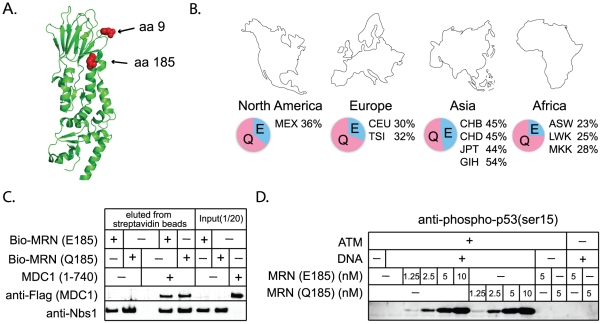 Interactions with other repair proteins have been conserved in Nbs1 despite its positive selection. A) Positively selected residues 9 and 185 (red balls) are mapped onto the partial Nbs1 structure (PDB 3HUE) [48] . B) SNP frequencies of Q185E are reported for the ten human populations included in the HapMap project ( http://hapmap.ncbi.nlm.nih.gov/ ). Three-letter labels are standard codes (ASW - African ancestry in Southwest USA; CEU - Utah residents with Northern and Western European ancestry; CHB- Han Chinese in Beijing, China; CHD - Chinese in Metropolitan Denver, Colorado; GIH - Gujarati Indians in Houston, Texas; JPT - Japanese in Tokyo, Japan; LWK - Luhya in Webuye, Kenya; MEX - Mexican ancestry in Los Angeles, California; MKK - Maasai in Kinyawa, Kenya; TSI - Toscans in Italy). C) Binding assays were performed between recombinant biotinylated MRN complexes containing Nbs1 E185 or Q185, and an N-terminal Flag-tagged fragment of Mdc1 containing amino acids 1 to 740, as indicated. The biotinylated MRN complexes (20nM) were incubated with 45 nM Mdc1 and then isolated with streptavidin-coated magnetic beads. Bound protein was visualized by western blotting with anti-Flag (Mdc1) and anti-Nbs1 antibodies. D) MRN complexes containing Nbs1 E185 or Q185 were tested in ATM kinase assays with linear DNA as indicated. Phosphorylation of the substrate, GST-p53 (aa 1–100), was assessed by western blotting using a phospho-specific antibody directed against p53-phospho-ser15 as previously described [57] .