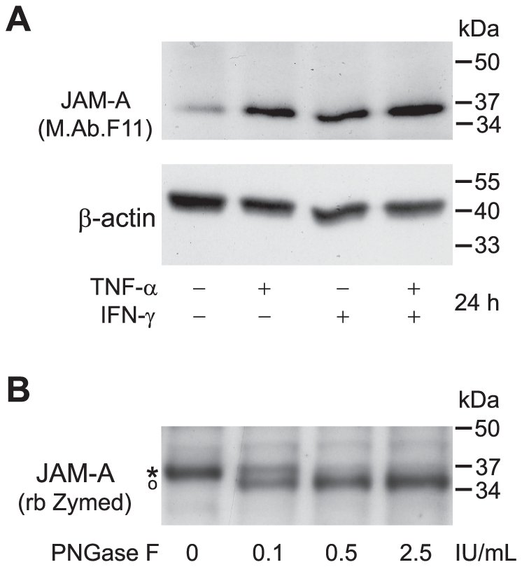 Pro-inflammatory stimulation of HBMEC induces JAM-A dissociation from the actin cytoskeleton. A Primary HBMEC were either left unstimulated or treated with TNF-α 10 ng/mL or IFN-γ 100 IU/mL alone or in combination. Cell protein extracts were generated with a Nonidet-P40 based cell lysis buffer and subjected to Western blot analysis. JAM-A was stained with M.Ab.F11. Staining of the same, peroxidase-inactivated membranes with a rabbit antibody against β-actin served as a loading control. B N-deglycosylation of JAM-A with increasing concentrations of PNGase F for 2 h. A rabbit polyclonal antibody against JAM-A (Zymed) was used for the detection of JAM-A. The asterisk represents N-glycosylated, the open circle N-declycosylated JAM-A. Representative experiments out of at least 5 independent experiments with different EC preparations for each subpanel of the figure are shown.
