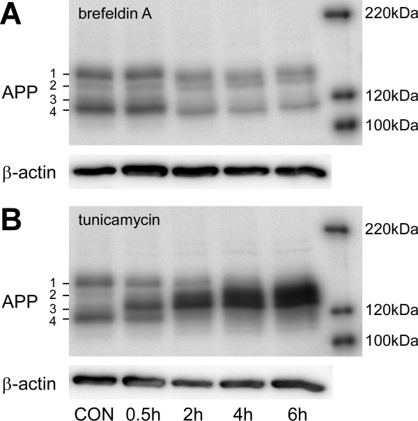 Shifts in full length APP patterns induced by the glycosylation inhibitors tunicamycin and brefeldin A in mononuclear phagocyte cultures . Human mononuclear phagocytes were isolated as indicated and left unstimulated on ultra-low attachment plates for 3 days. 6 h, 4 h, 2 h or 0.5 h prior to the lysis of the cells, tunicamycin or brefeldin A were added in a concentration of 10 μg/ml each. Cells were lysed in RIPA buffer and APP expression was analysed by separation on 7.5% SDS-PAGE, subsequent blotting on PVDF-membranes and staining with the 1E8 monoclonal antibody. Staining of β-actin served as a loading control. The right hand side shows a molecular weight standard. Note the slight shift in molecular weight after brefeldin A treatment and the decrease of band APP1 corresponding to mature APP and the increased amounts of the bands APP2 and APP3 after treatment with Tunicamycin.