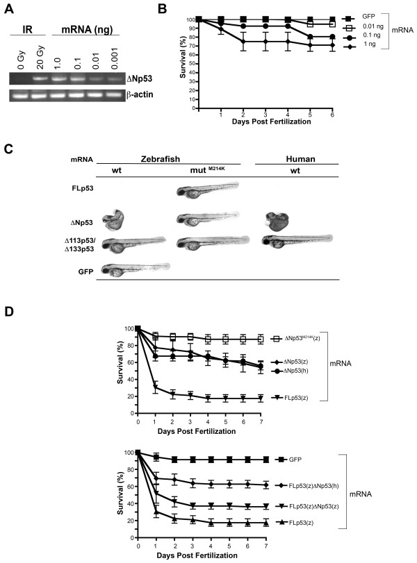 Effects of ectopic expression of ΔNp53 on zebrafish embryos . (A) Steady-state ΔNp53 message levels achieved by microinjection as compared to endogenous message levels in irradiated (20 Gy at 24 hpf) embryos; mRNA was isolated from 30 hpf embryos maintained in triplicate dishes of 60 embryos each and injected with 1-2000 pg of mRNA at the 2-4 cell stage. RT-PCR was performed as described in Material and Methods. (B) Embryo survival upon ectopic expression of ΔNp53 mRNA. Survival was defined as the presence of a heartbeat. (C) Representative examples of malformations caused by ectopic expression of p53 isoforms as evident at 48 hpf. Embryos were anesthetized with 0.003% tricaine, placed on 3% methylcellulose on a glass depression slide and examined using a fluorescence microscope (Leica MZ16FA) at 10× magnification. (D) Effects on embryo survival of 1 ng of either zebrafish or human ΔNp53 message either alone (upper panel) or in combination with zebrafish FLp53 mRNAs (lower panel). For control purposes, mRNAs encoding FLp53(z) and the functionally inactive M214K FLp53(z) mutant were included (upper panel). To ectopically express p53 isoforms, capped mRNAs were generated by cloning zebrafish cDNAs into pCS2+ and synthesized in vitro using the <t>mMessage-mMachine-SP6</t> kit (Ambion).