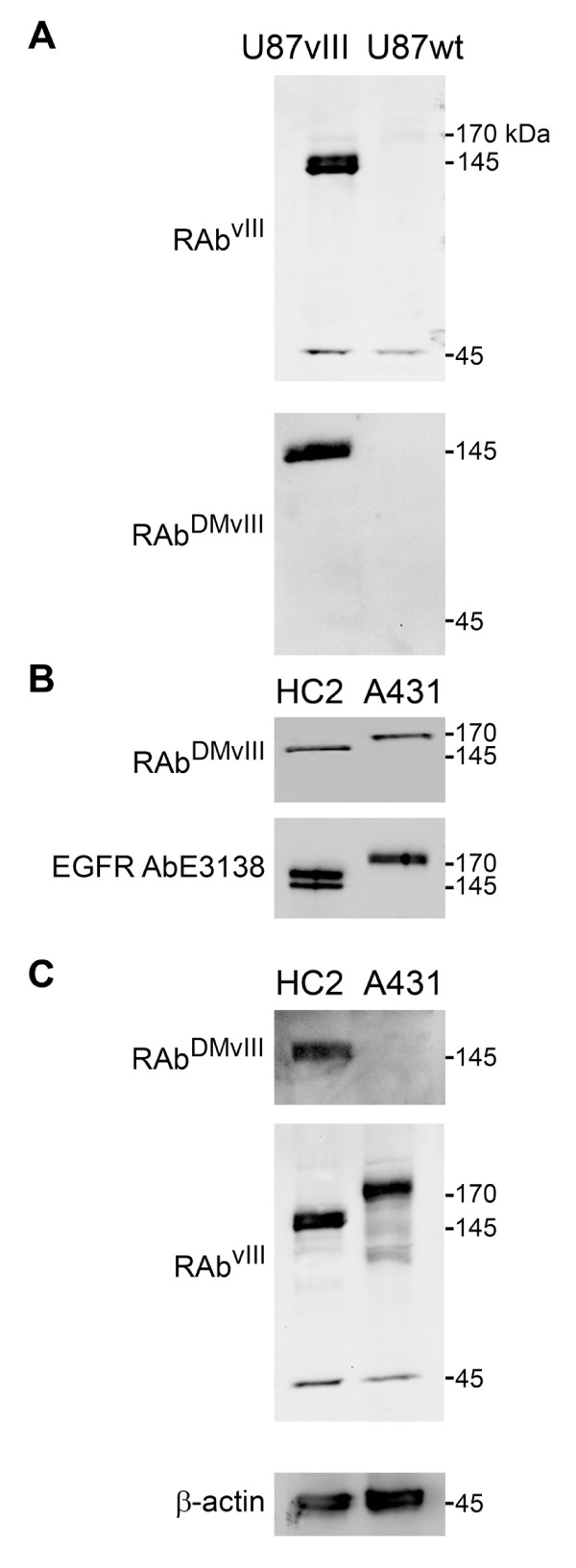 Western Blot analysis of RAb DMvIII antibody . A) 30 ug of U87vIII and U87 wild type cell lysate loaded under reducing conditions on 4-20% SDS-PAGE. A) RAb vIII recognizes 145 kDa band which corresponds to the EGFRvIII and 45 kDa unspecific protein band. A) RAb DMvIII recognizes only 145 kDa protein band. B) RAb DMvIII recognizes 170 KDa protein band in 30 ug of A431 cell lysate (cells overexpressing EGFR) and 145 kDa band in 30 ug of HC2 cell lysate under reducing conditions. B) EGFR antibody recognizes equal amount of protein in both HC2 and A431 cell lysate under reducing conditions. C) RAb DMvIII under non reducing conditions detect only 145 kDa protein band whereas RAb vIII still recognizes 145 kDa and 170 kDa protein bands in non reducing conditions. C) Actin antibody under reducing condition shows equal amount of protein loaded in the wells.