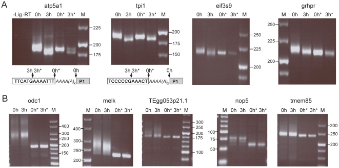 Poly(A) tail reduction of specific maternal mRNA in aged eggs. Poly(A) tail behavior of the indicated transcripts decreased (A) and not changed (B) upon egg aging are shown. Total mRNA from fresh (0 h) and aged (3 h) eggs was assayed by the RNA ligation-mediated poly(A) test (RL-PAT). * indicates RNaseH/oligo(dT) 20 digestion prior to ligation. Control lanes: –Lig, Ligation reaction performed without RNA; -RT, ligated RNA was not reverse transcribed prior to PCR. M, DNA size marker are given in base pairs. Direct sequencing of atp5a1 and tpi1 (A lower panel) reveals the actual transcript 3′ending (indicated by arrows), which is in fresh eggs at the end of the poly(A) tail (italic As), but in aged eggs several nucleotides upstream of the former end of the RNA body (clear box). P1 is the ligated primer.