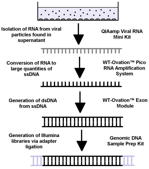 Flowchart of experimental methodology. Cell culture supernatants containing viral particles was collected from HIV infected cells. The RNA was extracted using the QIAamp Viral RNA Mini Kit and coverted into large quantities of single stranded DNA using the WT-Ovation Pico RNA Amplification System. The complementary strand for the ssDNA was then synthesized using the WT-Ovation Exon Module. The final step in the process involved using the Genomic DNA Sample Prep Kit to produce an Illumina library.