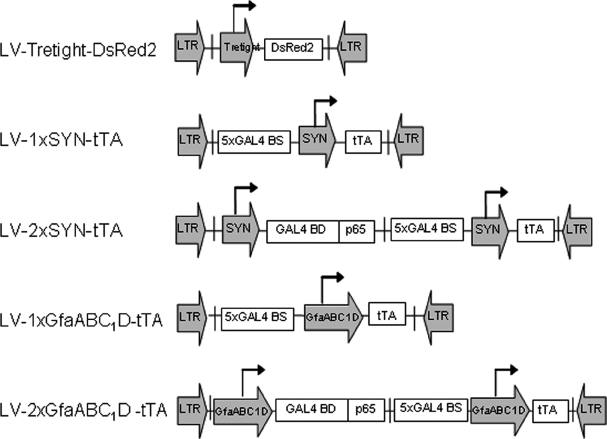 Schematic drawing of lentiviral vectors used in this study. LTR, lentiviral long terminal repeat; Tretight, a modified tetracycline-responsive promoter derived from <t>pTRE-tight-DsRed2</t> (Clontech); DsRed2, red fluorescent protein; 5 × GAL4BS, five tandem GAL4 binding sites; SYN, human synapsin 1 promoter; GfaABC 1 D, a compact glial fibrillary acidic protein promoter; GAL4p65, a chimeric transactivator consisting of a part of the transactivatin domain of the murine NF-κB p65 protein fused to the DNA-binding domain of the GAL4 protein from yeast; tTA, tetracycline-controlled transactivator protein