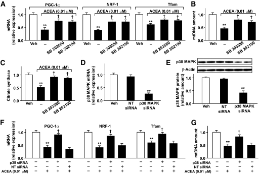 Inhibition of p38 MAPK reverses the effects of ACEA on mitochondrial biogenesis in mouse white adipocytes. A : mRNA levels of PGC-1α, NRF-1, and Tfam. B : mtDNA amount. C : Citrate synthase in white adipocytes treated with ACEA for 16 h in the presence or absence of 10 μmol/l SB203580 or SB202190 ( n = 5 experiments; ** P