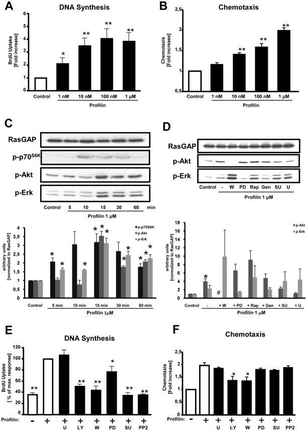 Profilin induces cellular responses and activates classical signaling cascades in rat VSMCs. ( A ) DNA-synthesis as assessed by measurement of BrdU incorporation. ( B ) Chemotaxis was evaluated utilizing modified Boyden chemotaxis chambers. ( C ) Quiescent VSMCs were stimulated with recombinant profilin-1 (1 µM) for various time points as indicated. The cells were lysed, and equal amounts of protein were subjected to SDS-PAGE and Western blot analyses, using phospho-specific antibodies recognizing phosphorylated p70 S6K , <t>Akt,</t> and Erk1/2. <t>RasGAP</t> served as a lysate control. ( D ) Cells were stimulated with recombinant profilin-1 (1 µM) for 15 min in the presence of pharmacological inhibitors as indicated. Data in C and D were quantified by densitometry and are expressed as fold increase compared to buffer-treated control cells. ( E ) DNA synthesis was assessed by measurement of BrdU incorporation, and recombinant profilin was added in the presence of pharmacological inhibitors as indicated. Data are expressed as the percentage of the maximal profilin-response. ( F ) Chemotaxis was evaluated utilizing modified Boyden chemotaxis chambers in the presence of pharmacological inhibitors. Data are expressed as fold increase compared to buffer-treated control cells. Pharmacological inhibitors: PI3K inhibitors wortmannin (W; 100 nM) and LY294002 (LY; 20 µM), MEK inhibitor PD98059 (PD; 30 µM), rapamycin (Rap; 10 nM), tyrosine kinase inhibitor genestein (Gen; 50 µM), Src inhibitors SU6656 (SU; 2.5 µM) or PP2 (50 nM), PLCγ inhibitor U73122 (U; 10 µM). All data represent means ± SEM from at least three independent experiments. * P