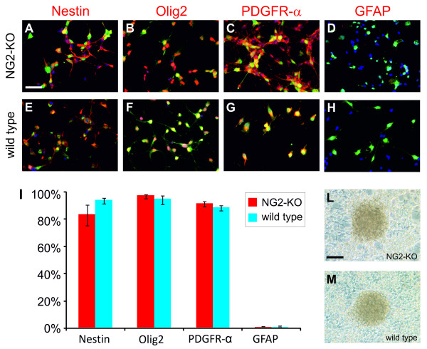 PDGF-B-induced tumors can be propagated in culture also in the absence of NG2 expression .(A-H) Immunofluorescence stainings of NG2-KO (A-D) and wild type (E-H) glioma cultures with anti-GFP antibody in green, DAPI for nuclear staining in blue and the antibody for the indicated antigen in red. (I) Histogram showing the percentage of cells expressing the indicated markers in NG2-KO (red bars) and wild type (blue bars) glioma cell cultures. (L-M) Bright field microphotographs of NG2-KO (L) and wild type (M) glioma cells showing the ability to form foci in vitro. Scale bars: 50 μm (A-D); 100 μm (L-M).