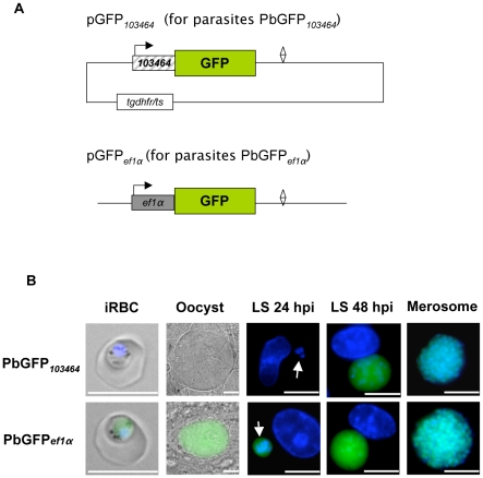 Promoter-dependent GFP expression. (A) The vector pGFP 103464 with GFP under the control of the promoter region 103464 and the vector pGFP ef1α with GFP under control of the ef1α promoter were generated and their transfection resulted in the parasite lines PbGFP 103464 and PbGFP ef1α . (B) Live imaging of PbGFP ef1α and PbGFP 103464 parasites at different life cycle stages. HepG2 cells were infected with transgenic P. berghei sporozoites and analyzed at different time points after infection (hpi, hours post-infection). GFP expresion was monitored by fluorescent microscopy. DNA was stained with Hoechst 33342. Arrows indicate young liver stage parasites. (iRBC: infected red blood cell; LS: liver stage) Scale bars: 10 µm.