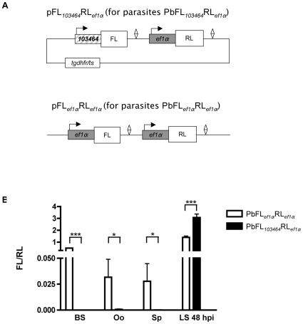 Generation of plasmids and transgenic P. <t>berghei</t> parasites for use in dual-luciferase assays. (A) The vector pFL 103464 RL ef1α with FL under the control of the promoter region 103464 and RL under the control of the ef1α promoter was generated and its transfection resulted in the parasite line PbFL 103464 RL ef1α . The plasmid pFL ef1α RL ef1α with FL and RL under the control of the ef1α promoter was used to obtain control parasites PbFL ef1α RL ef1α . Diamonds represent 3′UTRs, which in all cases were from the pbdhfr/ts gene. In the upper plasmid, the selection marker ( tgdhfr/ts ) is displayed but for simplicity in all other plasmid diagrams only those genes and features directly related to the experiments described are displayed. (B) Comparison of the luciferase activity (FL expression relative to RL expression) of transgenic parasites during the blood stage (BS), in oocysts (Oo), in salivary gland sporozoites (Sp) and in vitro in the liver stage (LS), 48 hours post-infection (hpi) of hepatoma cells. Standard deviation values (shown as error bars) were determined from three different measurements. Statistical analysis was performed using two-tailed unpaired t-tests (*P