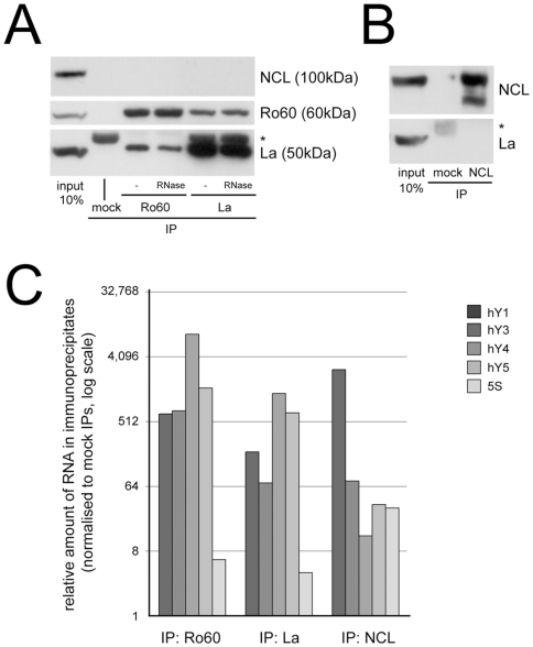 Human Y RNAs are present in several distinct RNP complexes in cytosolic extract. The indicated proteins were immunoprecipitated (IP) from HeLa cytosolic extract and associated proteins and RNAs were analysed by Western blotting and qRT-PCR, respectively. (A) Protein analysis of Ro60 and La IPs. Apparent molecular weights of the precipitated protein bands are shown, the asterisk indicates the IgG heavy chain. As a reference, 10% of the input cell extract was loaded on the gel. Where indicated, extract was treated with RNase A prior to IP (RNase). (B) Protein analysis of nucleolin (NCL) IPs. (C) RNA content analysis of the Ro60, La and nucleolin (NCL) IPs. The relative amounts of all four hY RNAs and 5S rRNA in the indicated immunoprecipitates relative to mock immunoprecipitates were determined by qRT-PCR. Mean values of two independent experiments are shown.