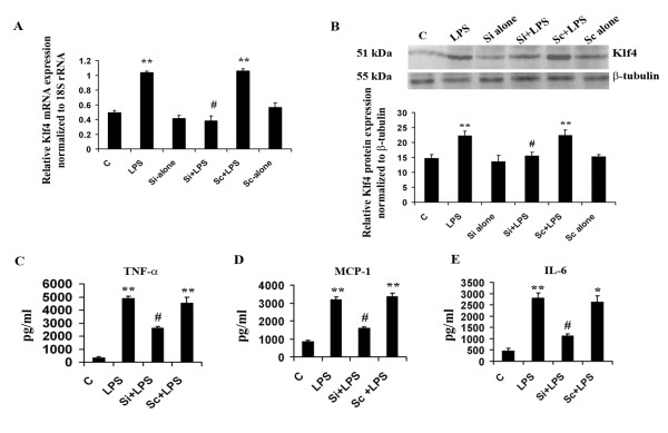 Role of Klf4 in mediating inflammation . Knockdown of Klf4 in BV-2 mouse microglial cells using SiRNA against Klf4 mRNA and subsequent decrease in the expression of pro-inflammatory cytokines. (A) q(RT)-PCR demonstrate a significant decrease in Klf4 mRNA levels in Si+LPS cells compared to LPS alone-treated cells. Cells treated with lipofectamine alone served as controls. The graph represents relative Klf4 mRNA expression values normalized to 18S rRNA internal control. (B) Immunoblot analysis of Klf4 protein isolated from BV-2 cells. Klf4 protein levels were decreased significantly in the Si+LPS group compared to LPS alone and to the Sc+LPS group. The graph represents Klf4 protein levels normalized to β-tubulin. No significant differences were observed in Si-alone and Sc-alone conditions compared to control cells for both mRNA and protein levels. (C-E) Cytokine bead array analysis of pro-inflammatory cytokines upon Klf4 knockdown. There is a more-than-two-fold decrease in TNF-α (C) and MCP-1 (D) levels in Klf4 knockdown samples, and a significant three-fold decrease is noticed in the case of IL-6 (E) . *, **, Statistical differences in comparison to control values (* p