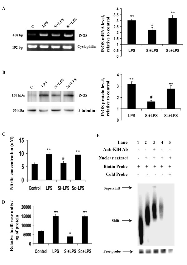 Role of Klf4 in iNOS expression upon LPS stimulation . (A) RT-PCR for iNOS mRNA demonstrates a significant decrease in iNOS mRNA levels upon Klf4 knockdown compared to LPS-treated cells. (B) Immunoblot showing iNOS levels under different conditions. There is a significant decrease in iNOS proteins levels in Si+LPS cells compared to LPS-treated cells. The graphs represent relative iNOS mRNA and protein levels with respect to the untreated controls. (C) Nitrite assay using Griess reagent was carried out to measure iNOS activity. A significant reduction is noticed in NO production as a result of Klf4 knockdown in LPS-treated samples. (D) Luciferase assay for iNOS promoter activity. Data is represented as relative luciferase units/amount of protein (in μg). A more-than-3-fold decrease is observed in luciferase activity in Si+LPS cells compared to LPS-treated cells. (E) EMSA carried out with nuclear extracts of control and LPS-treated BV-2 cells. Lane 1 shows free iNOS probe, whereas a shift is noticed in lane 2 when nuclear extracts were incubated with the probe. Lane 3 shows a supershift when Klf4-specific antibody was incubated with the probe and the nuclear extracts. The shift and supershift are indicated by arrows. Lane 4 shows a decreased shift when nuclear extracts from unstimulated control BV-2 cells were incubated with the iNOS probe. In lane 5, in addition to biotinylated probe, a 100-molar excess of unbiotinylated (Cold) probe was added along with nuclear extracts from LPS-stimulated cells. No significant band is observed in this lane. *, **, Statistical differences in comparison to control values and #, Statistical differences with respect to LPS-treated values respectively (* p