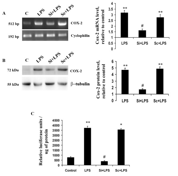Role of Klf4 in Cox-2 expression . (A) Semi-quantitative RT-PCR of Cox-2 mRNA indicates a significant decrease in Si+LPS cells compared to LPS-treated cells (B) Immunoblot for Cox-2 in total protein isolates from BV-2 cells. The protein levels of Cox-2 were also found to be significantly reduced within 12 h of LPS treatment in Si+LPS cells compared to LPS-treated cells. The graphs represent relative Cox-2 mRNA and protein levels with respect to the control samples. (C) Luciferase assay for Cox-2 promoter activity using a pCOX301/pGL2 construct. This construct has the luciferase gene directly regulated by Cox-2 promoter. There is a significant reduction in luciferase activity in the Si+LPS condition compared to the LPS-alone condition, indicating that Klf4 may be involved in regulating Cox-2 promoter activity. *, **, Statistical differences in comparison to control values and #, Statistical differences in comparison to LPS-treated values. (* p
