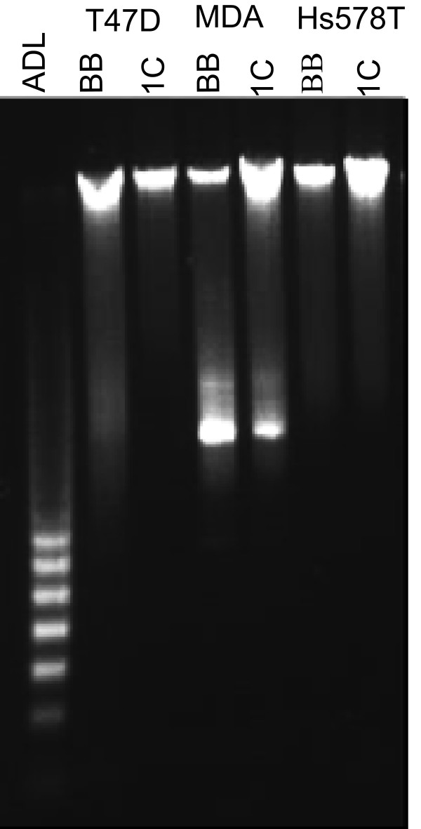 T47D, MDA-MB231, and Hs578T cells stably transduced with an empty MLV-backbone (T47D-, MDA-, and Hs578T-BB) or MLV-HA-RASSF1C (T47D-, MDA-, and Hs578T-1C) vectors were treated with 1 μg/ml doxycycline for 14 days . Genomic DNA was isolated for DNA fragmentation analysis using Apoptotic DNA ladder (ADL) kit. It is clear that DNA fragmentation did not occur in all the three cell lines tested suggesting that RASSF1C over-expression does not induce apoptosis.