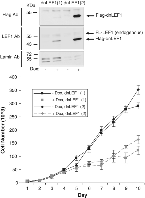 Overexpression of dnLEF-1 slows down DLD-1 colon cancer cell growth. The effect of doxycycline-induced expression of dnLEF-1 on DLD-1 colon cancer cell growth was monitored over a 10-day period in two different clonal stable cells lines [dnLEF1( 1 ) and dnLEF1( 2 )]. Quantitation of cell number with or without doxycycline (0.01 µg/ml) was performed using a sulforhodamine B cell proliferation assay (colorimetric-based growth curve). Differences in the rate of cell growth appeared after 4 days after which the dnLEF-1 expressing cells grew at a significantly reduced rate. A representative graph is shown from two independent trials. Error bars depict SDs of the results obtained with eight replicates from one trial. The western blots above the cell growth assay show the induced levels of expression of flag-tagged dnLEF-1 protein after 24 h of doxycycline treatment. Endogenous LEF-1 is also detected with LEF1 antibody (FL-LEF-1). Lamin antisera is used for a loading control.