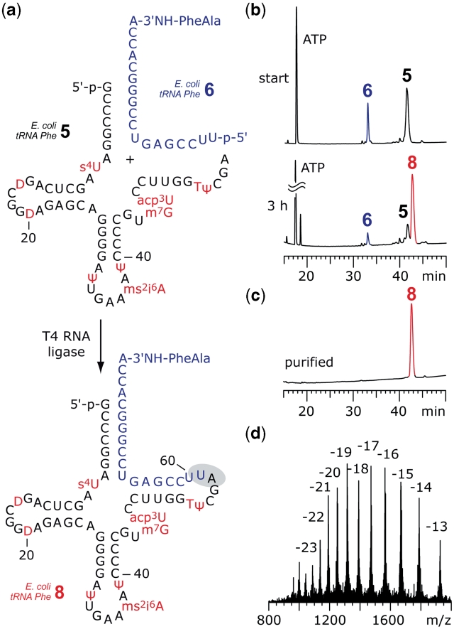 Example for enzymatic ligation of fully modified tRNA 5′-fragments to synthetic 3′-peptidylamino-RNA conjugates. ( a ) Structures of the 5′-fragment from  E. coli  tRNA Phe 5  and the dipeptide-RNA conjugate  6  to form a preligation complex that allows T4 RNA ligation of the full-length tRNA-peptide conjugate  8.  ( b ) The ligation reaction was monitored by anion-exchange HPLC analysis: 83% yield was achieved after 3 h; reaction conditions: T4 RNA ligase (0.5 U/µl;  c RNA  = 40 µM each strand; donor/acceptor = 1/1), 50 mM HEPES–NaOH (pH 8.0), 10 mM MgCl 2 , 10 mM DTT, 1 mM ATP, 0.1 mg/ml BSA, 37°C. (c) Purified 3′-peptidyl-tRNA; ( d ) LC-ESI MS analysis of  8 : m.w. (calcd) = 25030, m.w. (found) = 25029 ± 10. Anion-exchange HPLC: for conditions see 'Materials and Methods' section. For structures and abbreviations of modified nucleosides see  Supplementary Data .