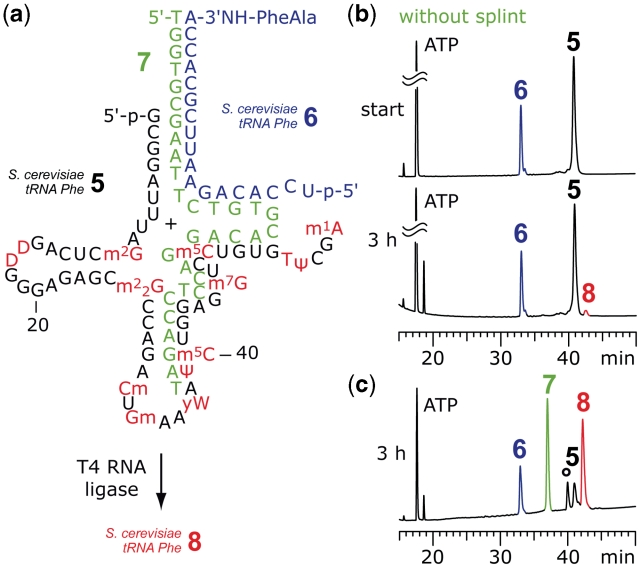 Example for splint-assisted enzymatic ligation of fully modified tRNA 5′-fragments to synthetic 3′-peptidylamino-RNA conjugates. ( a ) Structures of the 5′-fragment from S. cerevisiae tRNA Phe 5 and the dipeptide-RNA conjugate 6 to form a preligation complex that allows <t>T4</t> RNA ligation of the full-length tRNA-peptide conjugate 8. ( b ) Without splint 7 only marginal amounts of product 8 were formed; reaction conditions: T4 RNA ligase (0.5 U/µl; c RNA = 40 µM each strand; donor/acceptor = 1/1), 50 mM HEPES–NaOH (pH 8.0), 10 mM MgCl 2 , 10 mM DTT, 1 mM ATP, 0.1 mg/ml BSA, 37°C. ( c ) Ligation promoted by splint 7 resulted in 75% yield of 8 . The reaction was monitored by anion-exchange HPLC (for conditions see 'Materials and Methods' section); an unidentified, unreactive impurity is marked by an asterisk; reaction conditions: T4 RNA ligase (0.25 U/µl; c RNA = 40 µM each strand; c DNA = 40 µM; donor/acceptor/splint = 1/1/1), buffer as in (b) and 0.5 mM ATP, 37°C. For structures and abbreviations of modified nucleosides see Supplementart Data .