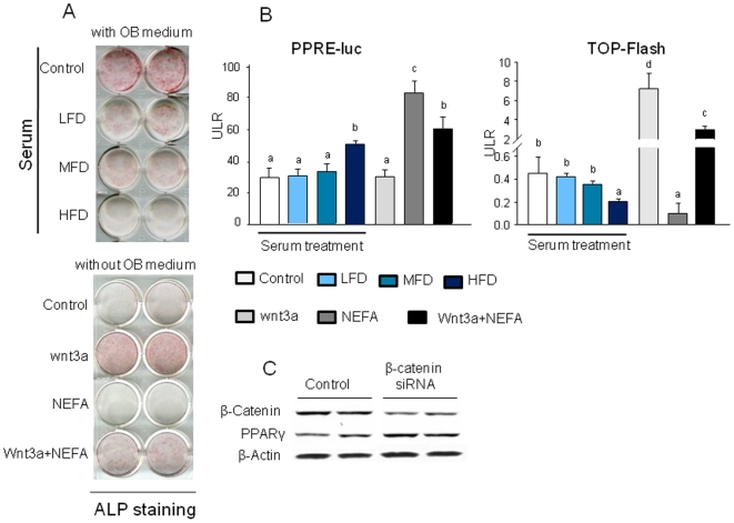 Serum from HFD-induced obese rats and an artificial FA mixture suppress osteoblast differentiation. (A), ST2 cells were cultured in 12 well plates. Cells were treated with 2% serum from LFD, MFD or HFD rats, 50 ng/ml Wnt3a, 400 µM FAs and their combination for 7 days in the presence or absence of osteogenic medium. Alkaline phophatase staining was performed. (B), 2% serum from HFD-induced obese rats and an artificial FA mixture significantly decreased TCF/LEF-dependent transcription of a luciferase reporter gene (TOPFLASH) in C2C12 osteoblastic cells compared with cells treated with LFD serum. Luciferase activity in C2C12 cells transfected with a PPRE-luc reporter construct and treated with 2% serum from LFD, MFD or HFD-fed rats, 50 ng/ml Wnt3a, 400 µM FAs and their combination for 24 h. (C), β-catenin gene was knock down using β-catenin siRNA in ST2 cells. After 24 h of β-catenin siRNA, cell proteins were collected and western blot was performed for β-catenin and PPARγ. Bars are expressed as mean ± SEM in triplicates. *, P