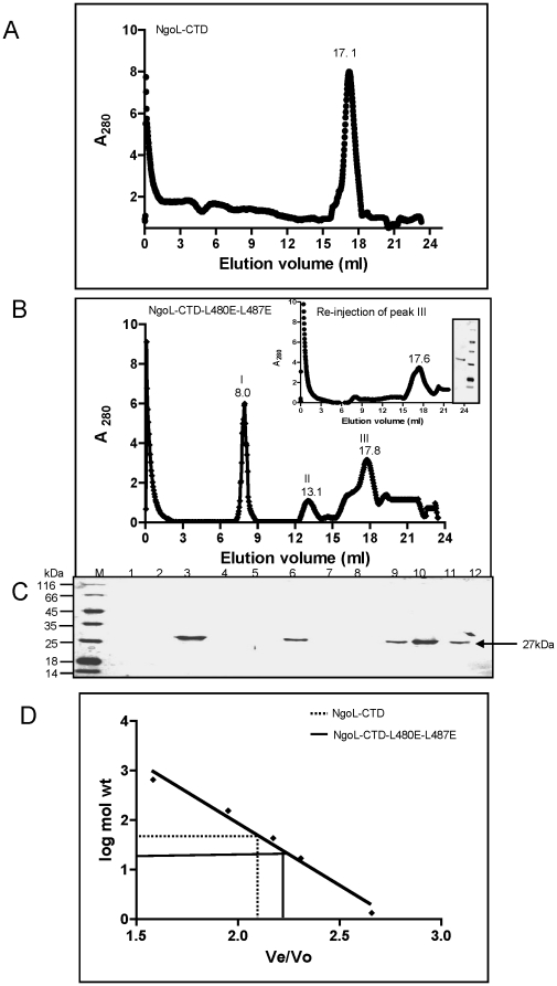 Gel filtration chromatography of the NgoL-CTD wild type and NgoL–CTD-L480E-L487E. The wild-type and mutant protein were both subjected to gel filtration chromatography to determine their oligomeric status. Elution profile of (A) NgoL-CTD wild type and (B) NgoL-CTD-L480E-L487E (C) SDS-PAGE analysis of fractions for (B): Fraction no.'s 3, 6 and 9-11 correspond to peak no.'s I (Rv = 8.0 ml), II (Rv = 13.1 ml) and III (Rv = 17.8 ml), respectively. Peak III was reinjected and the corresponding chromatography and gel analysis profiles are shown as inset figure in (B). (D) The standard curve log molecular weight versus Ve / Vo was derived from the elution profiles of the standard molecular weight markers with Ve corresponding to the peak elution volume of the protein and Vo representing the void volume of the column determined using Blue dextran. The peak positions of wild type NgoL-CTD and NgoL-CTD-L480E-L487E are indicated by dotted and solid lines, respectively.