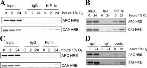 APC is a direct HIF-1α target. (A) ChIP analysis for HIF-1α binding to the APC and CA9 promoters. U2OS cells were exposed to 1% O 2 for the indicated periods before fixation and lysis. HIF-1α-bound <t>DNA</t> was amplified with specific primers spanning the annotated HRE region on the CA9 and the putative HRE at the APC promoter. Rabbit immunoglobulin G (IgG) was used as a control for the immunoprecipitation. Input represents 10% of the starting material used per immunoprecipitation (IP). (B) ChIP analysis for HIF-1β binding at the APC and CA9 promoters. U2OS cells were exposed to 1% O 2 for 24 h before fixation and lysis. HIF-1β–bound DNA was amplified with specific primers spanning the annotated HRE region on the CA9 and the putative HRE at the APC promoter. Rabbit IgG was used as a control for the immunoprecipitation. Input represents 10% of the starting material used per IP. (C) ChIP for AcH3. (D) Polymerase II at the APC HRE site. Cells were treated and processed as described in B. Rabbit IgG was used as a negative control. APC HRE site was amplified using specific <t>PCR</t> primers. Inputs represent 10% of starting material used in each IP.
