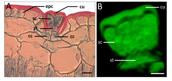 Comparison of microtome salt gland section with isolated salt gland of  A. officinalis . (A) Microtome section of pre-fixed paraffin-embedded leaf specimen showing cuticle envelope (cu) surrounding the salt gland and above the epidermal cells (epc). Bar = 20 μm. (B) Three-dimensional image of isolated salt gland (side view) showing 4 secretory cells (sc) above the stalk cell (st). The three-dimensional image was constructed using Imaris™ (beta) 3.0, based on stacked images captured with Zeiss LSM 510. Excitation and emission wavelengths were 488 nm (43%) and  > 505 nm, respectively. Bar = 10 μm. Note the presence of two collecting cells (cc) in (A) which are lacking in the isolated salt gland (B).