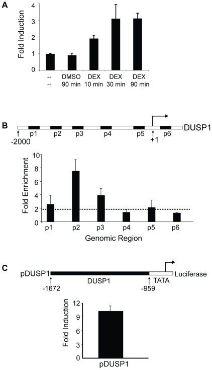 Identification of DNA elements mediating glucocorticoid response in the human DUSP1 gene. A A549 cells were untreated, treated with DMSO for 90 min, or treated with DEX (0.5 µM) for 10 min, 30 min, and 90 min as shown. Nuclei were used for nuclear run-on experiments with biotin-UTP to monitor in vitro transcription. Newly synthesized RNA was isolated and used to make cDNA. qPCR was performed to monitor changes in transcription rates using primers specific to Dusp1 and Rpl19 (control). Data represent the standard error mean (SEM) of the fold induction (DMSO- or DEX-treated cells divided by untreated cells) from at least three experiments. B Identification of GR binding regions in human DUSP1 using ChIP scanning across the first 2 kb of the human DUSP1 promoter. A549 cells were treated with DMSO or DEX (0.5 µM) for 10 min, and ChIP was performed with GR-specific antibody as described. DUSP1 gene schematic shows the location of six primers used (black boxes labeled p1-p6) for qPCR analyses. The regions of the DUSP1 gene (relative to the TSS) amplified by these primers are: p1 (−1815 to −1717), p2 (−1421 to −1333), p3 (−1191 to −1118), p4 (−662 to −543), p5 (−160 to −54), and p6 (+98 to +215). Data represent the SEM of the fold enrichment (DEX-treated cells divided by DMSO-treated cells) from at least three experiments. C DUSP1 GR binding region mediates glucocorticoid response. −1672 to −959 (relative to the TSS) of the human DUSP1 genomic region was subcloned into pGL4-TATA reporter plasmid to create pDUSP1. pDUSP1 was transfected into A549 cells along with an expression vector for human GR. 24 h post-transfection, cells were treated with DMSO or DEX (0.5 µM) for 18–20 h. Luciferase assay data represents the SEM of the fold induction of luciferase activity (DEX-treated cells divided by DMSO-treated cells) from at least three experiments.