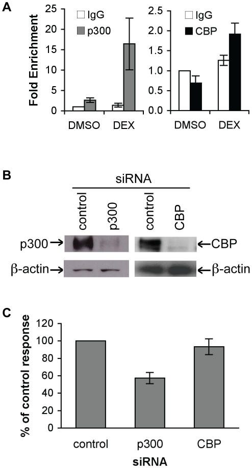 p300 is a transcriptional coactivator for GR-regulated DUSP1 gene transcription. A Glucocorticoid treatment increased the level of p300 and CBP at the DUSP1 GLS2 region. A549 cells were treated with DMSO or DEX (0.5 µM) for 10 min, and ChIP was performed with antibodies against p300, CBP and <t>IgG</t> (control). Data is shown from qPCR analyses with primers specific to the DUSP1 GLS2. B RNAi knockdown causes substantial reduction of p300 protein and CBP protein. A549 cells reverse transfected with p300, CBP or scramble siRNA were harvested 48 h post-transfection, then probed by Western blot using an antibody against p300 or CBP, with <t>β-actin</t> as a loading control. C RNAi against p300 but not CBP decreased DEX-induced DUSP1 gene expression. p300, CBP or scramble (control) siRNA was transfected into A549 cells. 48 h post-transfection, cells were treated with DMSO or DEX (0.5 µM) for 5 h. Total RNA was isolated and converted to cDNA. qPCR was used to monitor the expression of DUSP1 gene. The expression of Rpl19 gene was used as an internal control. Data represents the SEM of DEX-induced DUSP1 gene expression (DEX-treated cells divided by DMSO-treated cells), as a percent of the control siRNA response from at least three experiments.
