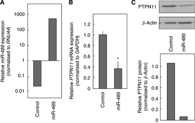 miR-489 negatively regulates PTPN11 expression. FaDu cells were transfected with miR-489. After incubation for 72 h, total RNA and proteins were isolated. ( A ) FaDu cells were treated with a miR-negative control (10 n) or miR-489 (10 n). After 72 h, miR-489 expression was measured by TaqMan quantitative real-time PCR. The results are normalised to RNU44 expression. ( B ) PTPN11 mRNA expression was analysed by TaqMan quantitative real-time PCR. The results are normalised to GAPDH expression and are presented relative to control expression. * P