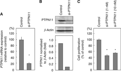 Proliferation is inhibited by transfection with si-PTPN11 in FaDu cells. FaDu cells were transfected with 10 n si-PTPN11. Total RNA and proteins were isolated after 72-h incubation. ( A ) PTPN11 mRNA expression was analysed by TaqMan quantitative real-time PCR. The results are normalised to GAPDH expression and are presented as relative to control expression. * P
