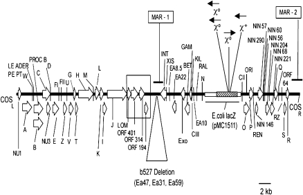 Model of the Muta™Mouse λgt10- lacZ transgene derived by sequence analysis. The transgene monomer has 47 513 bp and 57 ORFs and is based on nucleotide sequencing of PCR amplicons derived from systematic scanning of functional regions of λgt10- lacZ using Muta™Mouse genomic DNA from tissues of both gender and λgt10- lacZ in vivo copies rescued by in vitro phage packaging and commercial stocks of λCI857 and λgt10. Data include the b527 deletion and unfinished parts of bacteriophage imm434 (accession numbers M60848, Y00118) and the 5.2 kb EcoR1-DraI fragment of pMC1511, which contains the E.coli lacZ mutation reporter (GenBank® L08935) (hatched-box). The GenBank® accession numbers for sequences other than those reported already for λ (NC_001416; 48.5 kb) are given in Table II . Functional regions included left (COS L ) and right (COS R ) cohesive ends and ORFs required for virion assembly and DNA packaging and origin of λ DNA replication (ORI). Arrows show orientation of ORFs common to the 48.5 kb λ bacteriophage as identified by λ gene nomenclature (see NC_001416). Novel in vivo copy rearrangements are described in Figure 2 and Table II . The large open box spans a novel finding of a region of substitution by lambdoid Rac prophage tail fiber assembly gene ( lom and ORFs 401, 314 and 194) found also in λgt10 and λCI857 commercial stocks. Also identified are crossover hot spot instigator motifs (Chi sites) conveying potential for lacZ recombination with the E.coli genome. The symbol χ + signifies a fully functional Chi motif (starts at nucleotide position 3508 on the reverse or antistrand with respect to E.coli lacZ (accession J01636). χ 0 signifies a one base difference version of the Chi motif that requires a single mutation for full function. These χ 0 sites start at nucleotide positions 3149 and 3152 for the two on the anti-strand and position 3248 for the one on the sense strand. MAR-1 and MAR-2 show location of sequences identified as matrix-associated regions usi