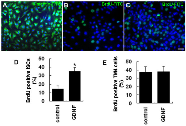 GDNF enhances the proliferation of cultured ISCs . (A) The identity and purity of cultured ISCs was confirmed by immunostaining with an antibody against Sertoli cell-specific vimentin protein. (B-C) BrdU-positive ISCs in control (B) and GDNF treated (C) groups. (D) Quantitative analysis of ISC proliferation as indicated by the percentage of BrdU-positive cells in control and GDNF treated groups. (E) Quantitative analysis of TM4 cell proliferation as indicated by the percentages of BrdU-positive cells in GDNF treated and control groups. Statistically significant differences ( p