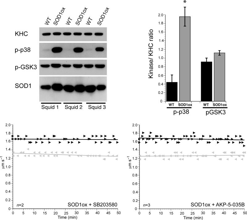 p38 mediates the inhibition of anterograde FAT induced by SOD1ox ( a ) Immunoblotting analysis using activation-specific phosphoantibodies reveals a marked activation of p38 (p-p38) in axoplasms perfused with recombinant oxidized SOD1 (SOD1ox), compared to those perfused with recombinant unmodified WT-SOD1 (WT). In contrast, no changes were found in the activities of ERK (pERK) and GSK3 (pGSK3) in association with a specific SOD1 species. A monoclonal antibody against SOD1 (D3H5) 22 confirmed similar levels of SOD1 perfusion, and antibodies against kinesin-1 (KHC) provided a loading control for total levels of axoplasmic protein. Results from three independent experiments are shown (Squid 1-3). ( b ) Quantitation of results in (a) reveals an approximately 4-fold increase in the phosphorylation of p38 kinase (indicative of p38 activation) in SOD1ox-perfused axoplasms, compared to unmodified WT-SOD1-perfused axoplasms ( n =6, P