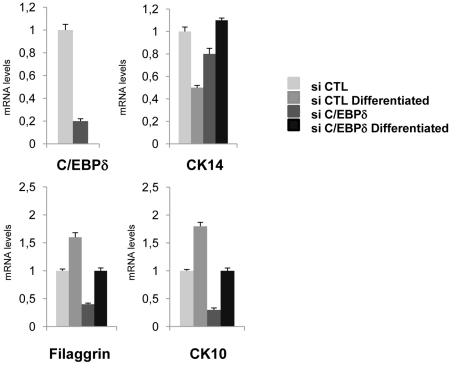 C/EBPδ is important for keratinocyte differentiation. Analysis of differentiation markers by qRT-PCR of C/EBPδ-inactivated cells induced to differentiate. Primary keratinocytes were transfected with scamble and C/EBPδ siRNAs. After 24 h, half of the cells were induced to differentiate by addition of calcium. Samples were harvested after 3 days, RNAs prepared and qPCR performed on the indicated genes. Values are normalized to GAPDH, used as an internal control.