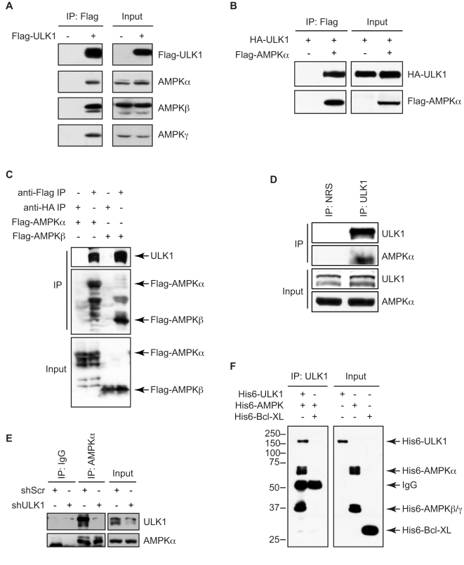 AMPK interacts with ULK1 directly. (A) 293T cells were transfected with Flag-ULK1 or control empty vector and subjected to immunoprecipitation with anti-Flag antibody, followed by immunoblot analysis with the indicated antibodies. (B) 293T cells were co-transfected with Flag-AMPKα2 and HA-ULK1. Cell lysates were subjected to immunoprecipitation using anti-Flag antibody followed by SDS-PAGE/immunoblot analysis with anti-HA and anti-Flag antibodies. (C) 293T cells were transiently transfected with Flag-AMPKα2 or Flag-AMPKβ1. After 24 h, immunoprecipitation was performed using anti-Flag or control anti-HA antibodies and analyzed by immunoblotting with anti-ULK1 and anti-Flag polyclonal antibodies. (D) 293T cell lysates were subjected to immunoprecipitation with anti-ULK1 polyclonal antibody or control preimmune rabbit serum (NRS), followed by immunoblot analysis with anti-ULK1 and anti-AMPKα antibodies. (E) 293T cells were infected with ULK1 shRNA or control shRNA lentiviruses and subjected to immunoprecipitation with control rabbit IgG or anti-AMPKα antibody followed by immunoblotting with anti-ULK1 and anti-AMPKα antibodies. (F) Purified His6-AMPKα1/β1/γ1 fusion proteins (250 ng) were mixed with purified His6-tagged ULK1 (1 µg) or Bcl-XL (200 ng) proteins in 1% Triton X-100 lysis buffer containing protease inhibitors and subjected to immunoprecipitation with anti-ULK1 antibody. The resulting protein complexes and 10% of the input proteins were analyzed by immunoblotting with anti-His-Tag polyclonal antibody.