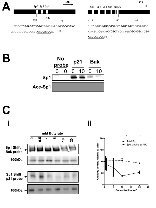 Acetylated Sp1 does not bind at the bak or p21 promoters . Panel A shows the organisation and sequence of the bak (Ai) and p21 (Aii) probes, with hypothetical and proven Sp1/3 binding sites underlined. Sequence numbers refer to distance from the transcriptional start site of each gene. Panel B shows that binding of Sp1 to both target sequences is decreased following butyrate treatment. Panel B: Western of mobility shift assay (WeMSA) analysis of binding to the Bak and p21 probes shows that Sp1 binding decreases following treatment with 10 mM sodium butyrate for 24 h compared to an untreated control (upper panel). Binding of acetyl-Sp1 could not be detected by WeMSA (lower panel). These data are representative of three independent repeats. Panel C: The binding of Sp1 to the bak (panel Ci) and p21 (panel Cii) promoter sequences was determined following treatment of HCT116 cells with a range of butyrate concentrations (0-20 mM). The upper panels show WeMSA gels immunoprobed for Sp1. As a loading control, the same extracts were also separated by SDS page, and immunoprobed with the same antibody (lower panels). Data shown in Ci and Cii are representative of at least two independent repeat experiments. Panel Ciii shows mean (+/- SD) of response at the Bak promoter. Whilst the levels of Sp1 are broadly constant, levels of Sp1 binding for both probes are reduced following treatment with butyrate.