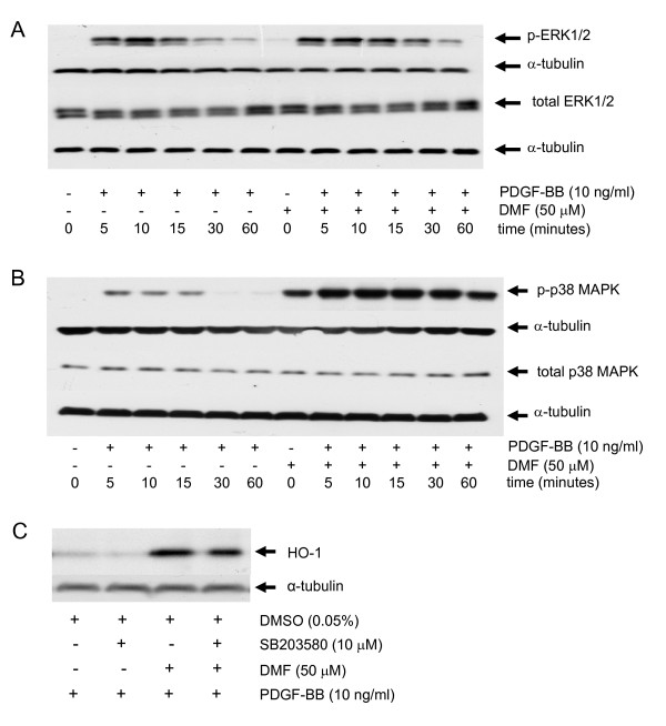 DMF activates phosphorylation of p38 MAP kinase and p38 MAPK inhibition reduces DMF induced HO-1 in ASMC. (A) a representative immuno-blot of the PDGF-BB induced ERK1/2 MAPK (p-ERK1/2) phosphorylation kinetic in the presence and absence of DMF. Similar results were obtained in three additional cell lines. (B) a representative immuno-blot of the kinetic of PDGF-BB induced ERK1/2 MAPK (p-ERK1/2) phosphorylation and its enhancement by DMF; similar results were obtained in three cell lines. (C) a representative immuno-blot of DMF-induced HO-1 expression and its reduction by the p38 MAPK inhibitor SB203580 Similar results were obtained in three cell lines.