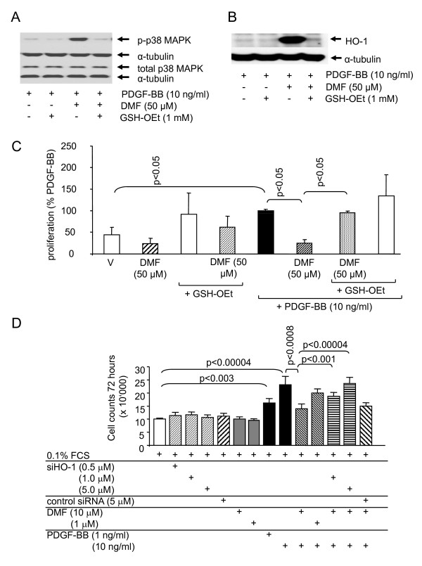 GSH reverses the effects of DMF on p38 MAPK phosphorylation, on HO-1 expression and on ASMC proliferation. (A) a representative immuno-blots of the reversing effect of GSH on DMF- and PDGF-BB induced of p38 MAPK phosphorylation in ASMC at 30 min. Similar results were obtained in three cell lines.. (B) a representative immuno-blot of the reversing effect of GSH on the DMF-induced HO-1 expression at 24 h; similar results were obtained in three additional cell lines.. (C) a counteractive effect of GSH on DMF dependent inhibition of ASMC proliferation. Similar results were obtained in four cell lines. Data represents mean ± SEM (unpaired student's t-test).