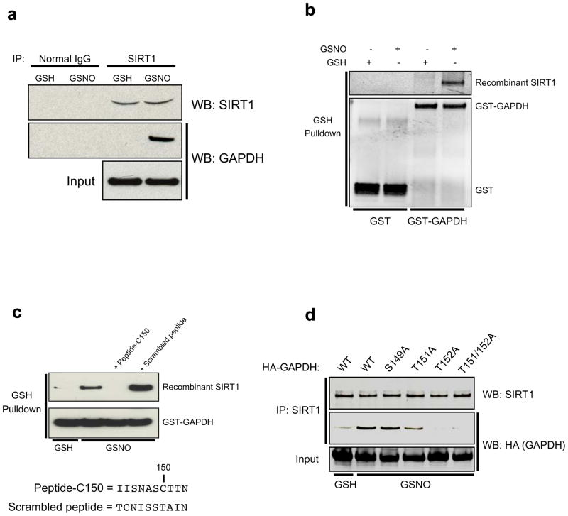 SNO-GAPDH interacts with SIRT1 near its nitrosylated Cys150 residue ( a ) Endogenous co-immunoprecipitation of SIRT1 and GAPDH in HEK293 cells treated with NO donor. Cells were treated with 200 μM GSH or GSNO for 16 hr prior to lysis. ( b ) Nitrosylated GAPDH (SNO-GAPDH) binds directly to SIRT1 in vitro . GST or GST-GAPDH was pre-treated with 100 μM GSH or GSNO for 30 min at 37°C. After desalting, recombinant SIRT1 was added and binding assessed by a <t>GSH-agarose</t> pulldown assay. ( c ) A small peptide corresponding to the region of GAPDH that spans Cys150 (Peptide-C150) blocks the interaction between SNO-GAPDH and SIRT1. The assay was performed as in b . ( d ) Mutation of Thr152 of GAPDH abolishes binding to SIRT1. Twenty-four hours after transfection with wild-type HA-GAPDH or the indicated point mutants, HEK293 cells were treated with 200 μM GSH or GSNO for 16 hr. Cell lysates were immunoprecipitated with anti-SIRT1 antibody and analyzed by western blotting with anti-HA antibody. HA-GAPDH, HA-tagged GAPDH.