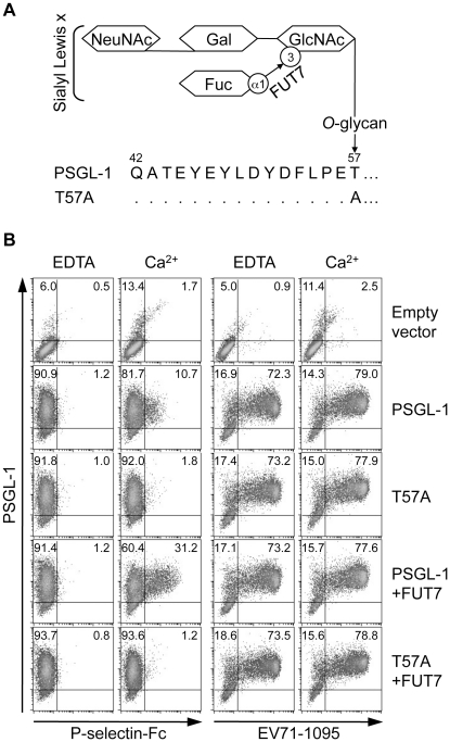 PSGL-1 O -glycosylation at T57 is not necessary for binding to EV71-1095. (A) Schematic structure of the O -glycosylation of PSGL-1 and the T57A mutant. FUT7 is involved in the synthesis of sialyl Lewis x. (B) 293T cells were transfected with the indicated expression plasmids. Transfectants were incubated with P-selectin-Fc or EV71-1095 in the presence (Ca 2+ ) or absence (EDTA) of 2 mM CaCl 2 followed by the P-selectin-Fc or EV71 binding assay using flow cytometry. The percentage of cells bound to P-selectin-Fc or EV71-1095 is indicated in the upper right quadrant. The data are representative of three independent experiments.