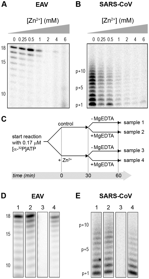 The activity of the RdRps of EAV and SARS-CoV is reversibly inhibited by Zn 2+ . RdRp activity of purified EAV nsp9 ( A ) and SARS-CoV nsp12 ( B ) in the presence of various Zn 2+ concentrations, as indicated above the lanes. ( C ) Schematic representation of the experiment to test whether Zn 2+ -mediated inhibition of RdRp activity could be reversed with MgEDTA. RdRp reactions, either untreated controls (sample 1 and 2) or reactions containing 6 mM Zn 2+ (samples 3 and 4) were incubated for 30 min. Both Zn 2+ -containing and control samples were split into two aliquots and 6 mM MgEDTA was added to sample 2 and 4. All reactions were incubated for an additional 30 min and then terminated. Reaction products of the RdRp assays with EAV nsp9 and SARS-CoV nsp12 are shown in ( D ) and ( E ), respectively. Numbers above the lanes refer to the sample numbers described under (C).