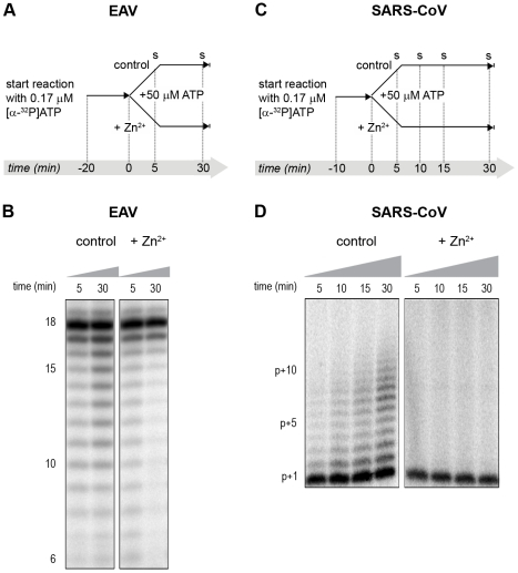 The effect of Zn 2+ on initiation and elongation activity of purified EAV and SARS-CoV RdRps. ( A ) An EAV RdRp reaction was initiated in the presence of [α- 32 P]ATP under conditions that do not allow elongation, i.e. , low ATP concentration. After 20 min, the reaction was split into two equal volumes, and Zn 2+ was added to one of the tubes. A chase with 50 µM unlabeled ATP, which allows elongation, was performed on both reactions and samples were taken after 5 and 30 min. ( B ) EAV RdRp reaction products that accumulated in the presence and absence of Zn 2+ (indicated above the lanes) after a 5- and 30-min chase with unlabeled ATP. The length of the reaction products in nt is indicated next to the gel. ( C ) A SARS-CoV RdRp reaction was initiated in the presence of 0.17 µM [α- 32 P]ATP, which limits elongation. After 10 min, the reaction was split into two equal volumes, and Zn 2+ was added to one of the tubes. A chase with 50 µM unlabeled ATP was performed on both reactions and samples were taken after 5, 10, 15, and 30 min. ( D ) SARS-CoV RdRp reaction products formed at the chase times indicated above the lanes in the presence and absence of Zn 2+ . The length of the reaction products in nt is indicated next to the gel (p is the primer length).