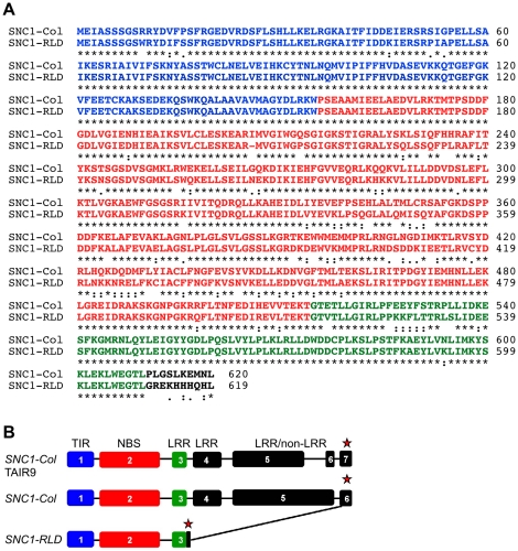 SNC1-RLD encodes a truncated TNL protein. (A) Alignment of deduced amino acid sequences of SNC1-Col (top) and SNC1-RLD (bottom) using the EBI-ClustalW tool ( http://www.ebi.ac.uk/Tools/clustalw/ ) [54] . Identical amino acids are indicated by asterisks. Colons and semi-colons show conserved substitutions and semi-conserved substitutions, respectively. Characters in blue, red and <t>green</t> show the amino acids corresponding to exon 1, exon 2 and exon 3, respectively. (B) SNC1 gene model as experimentally verified by reverse transcription <t>PCR</t> and 3′-RACE from Col-0 (middle) and RLD (bottom) compared with the TAIR9 gene model (top). Exons are indicated by boxes, introns by lines, and stop codons by red asterisks.