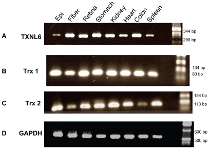 TXNL6 transcript is detected in the human lens epithelium and lens fiber cells and in other human tissues. Ethidium bromide stained agarose gels show Panel A - TXNL6, Panel B - Trx 1, Panel C - Trx 2 and Panel D GAPDH (control) transcript from 200 ng of RNA obtained from human tissues - 1. Lens epithelium, 2. Lens Fiber, 3. Retina, 4. Stomach, 5. Kidney, 6.Heart, 7. Colon, and 8. Spleen.