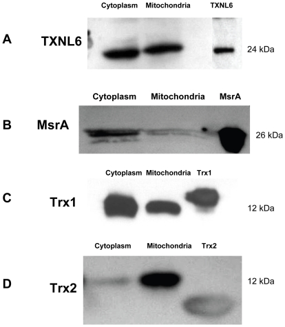 TXNL6 is present in protein extracts prepared from the cytoplasm and mitochondria of human lens epithelial cells. SDS-PAGE and immunoblotting of Panel A - TXNL6, Panel B - MsrA, Panel C - Trx 1, and Panel D -Trx 2 in 5 µg of protein extracts from the cytoplasm and mitochondria of HLE-B3 lens epithelial cells using specific antibodies.