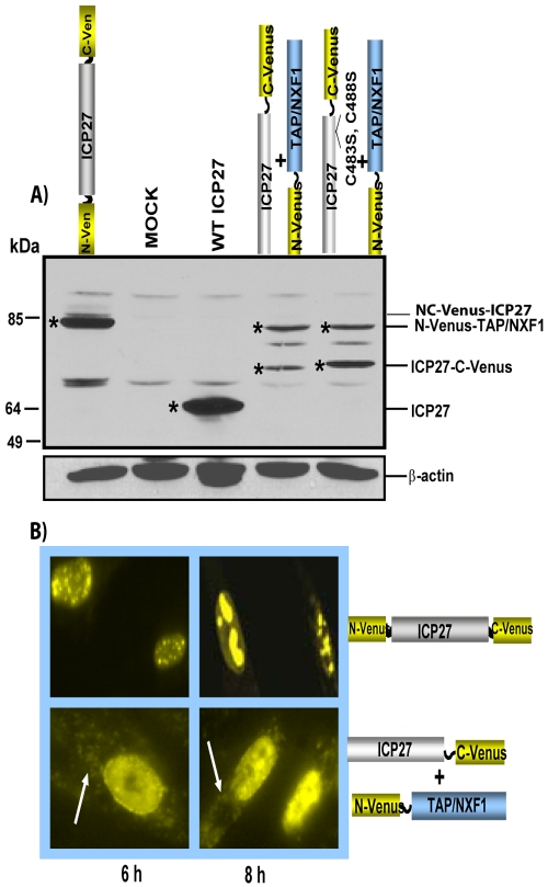 Western blot analysis of TAP/NXF1-Venus and ICP27-Venus fusion proteins. (A) RSF were transfected with plasmid DNA encoding the proteins indicated and infected with 27-LacZ to induce expression of ICP27 constructs. Cells were harvested 8 h after infection, and proteins were fractionated on a 10% SDS-polyacrylamide gel and transferred to nitrocellulose. Membranes were probed with antibodies against GFP, ICP27, and β-actin as described previously ( 27 ). Asterisks mark the protein bands. (B) RSF were transfected with NC-Venus-ICP27 or cotransfected with ICP27–C-Venus and N-Venus–TAP/NXF1 and later infected with 27-LacZ for 6 and 8 h, as indicated. Venus fluorescence was viewed directly using a Zeiss LSM 510 Meta confocal microscope at a magnification of ×63. White arrows point to Venus cytoplasmic fluorescence.