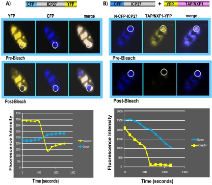 Interaction between CFP-ICP27 and YFP-TAP/NXF1 was not observed by FRET after acceptor photobleaching. (A) RSF were transfected with CFP-ICP27-YFP and were infected with 27-LacZ for 6 h. Merged images depicting the colocalization of YFP-ICP27 and CFP-ICP27 are shown, with the regions of interest for donor and acceptor images before and after bleaching circled. Quantification of FRET for the circled regions is displayed graphically as fluorescence intensity over time. (B) RSF were transfected with CFP-ICP27 and YFP-ICP27 and were then infected with 27-LacZ for 6 h. Merged images depicting the colocalization of CFP-ICP27 and YFP-TAP/NXF1 are shown, with the regions of interest for bleaching circled. Quantification of FRET for the circled regions is displayed graphically as fluorescence intensity over time, as described in Materials and Methods. FRET analysis was performed by using an LSM confocal microscope at a magnification of ×63.