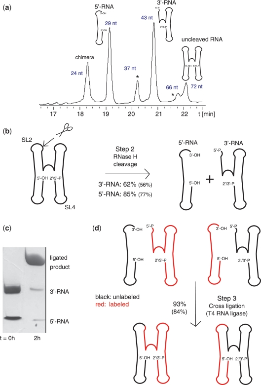 RNase H cleavage (Step 2) and direct non-splinted cross-religation using T4 RNA ligase (Step 3). ( a ) Denaturing anion-exchange HPLC profile of fragments obtained by site-specific RNase H cleavage in SL2 between A29 and C30 of the RsmZ RNA (60 nmol reaction). The RNase H cleavage was performed with a chimera/RNA ratio of 0.75:1. The different fragments obtained by RNase H cleavage are shown on the top of their corresponding peak. Side-products occurring because of 'unspecific' cleavage in SL4 are marked by asterisks (see Supplementary Figure S3 ). The retention time of the HPLC profile is indicated on the y-axis. The purification conditions used are presented in the methods section. ( b ) Scheme of RNase H cleavage reaction and corresponding reaction yields. The yield of the cleavage reaction before HPLC purification is indicated, the values in brackets are expressing the yield after purification. The site of cleavage is shown by scissors. ( c ) Analytical 16% denaturing PAGE gel of the ligation reaction. Left lane: 400 pmol of each 5′-RNA (29 nt) and 3′-RNA (43 nt) before ligation, right lane: after ligation. ( d ) Reaction scheme and corresponding reaction yields for T4 RNA ligase mediated non-splinted cross-ligation of both a labeled (in red) and an unlabeled (in black) fragment, respectively. The ligation yield determined with a reaction using only unlabeled fragments is indicated.