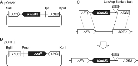 Integration vectors to construct one-hybrid strains with ADE2 and HIS3 reporter genes. ( A ) Integration vector pOHAK for ADE2 reporter gene. We cloned a fragment spanning AFI1-GAL2 UAS -GAL2 TATA -ADE2 from PJ69-2A and replaced the GAL2 UAS with a fragment containing KanMX and an HpaI site to obtain pOHAK. ( B ) Integration vector pOHHZ for HIS3 reporter gene. We cloned a fragment spanning LYS2-GAL1 UAS -GAL1 TATA -HIS3 from PJ69-2A and replaced the GAL1 UAS with a fragment containing Zeo R and a PmeI site to obtain pOHHZ. ( C ) Schematic representation of reporter gene construction in the case of ADE2 as an example. A methylatable bait sequence is cloned at the HpaI site of pOHAK, and the plasmid linearized by SalI-KpnI digestion is used for transformation of PJ69-2A. Homologous recombination occurs within ORFs for AFI1 and ADE2 .