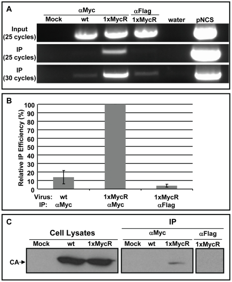 Co-IP of p12 with the viral genomic DNA and CA proteins. Lysates were prepared from NIH3T3 cells, infected with wt or 1xMycR viruses. To detect the viral genomic DNA (A and B) the lysates were incubated with anti-Myc (labeled 'αMyc'), or control anti-Flag antibodies (labeled 'αFlag'); both conjugated to protein G magnetic beads. Viral genomic DNA was PCR amplified from cell lysates (labeled 'Input') and from the magnetic beads (labeled 'IP') with MLV specific primers. After 25 and 30 cycles of amplification, the PCR products (875 bp long) were electrophoresed in 1% agarose gels containing ethidium bromide (A). 'Mock' indicates mock-infected NIH3T3 cells. Water and plasmid encoding the MLV genome ('pNCS') were used as negative and positive PCR controls, respectively. (B) The 'Relative IP efficiency' of the viral genomic DNA was quantified by qPCR ( Materials and Methods ) and is presented as the means ± the standard error of the means, obtained from three independent experiments. The qPCR values are presented in Fig. S7A . To test for CA immunoprecipitation (C), NIH3T3 were infected as in (A) and 15% of the indicated cell lysate was used to determine total CA levels (labeled 'Cell Lysates'). The remaining lysates (labeled as in A) were used for IP with anti-Myc, or control anti-Flag monoclonal antibodies, bound to agarose beads. Cells exposed to medium with no virus served as a mock control. Pellets (labeled 'IP') and cell lysates were analyzed by Western Blot, using anti-CA polyclonal antibodies.